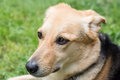Gentle dog portrait with big eyes closeup Royalty Free Stock Photos