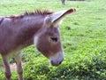 Gentle Donkey Stock Image