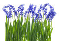 Gentle Easter grass and blue flowers Royalty Free Stock Photo