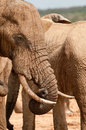 Gentle giant a large elephant curls the tip of its trunk under its ivory tusks Stock Photography
