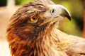 Gentle golden eagle with a look just glancing around Royalty Free Stock Images