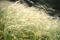 Gentle grasses beautiful long gently rocking in the wind Royalty Free Stock Photo