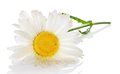 Gentle head of camomile in the water drops a isolated on white Stock Photography