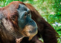 Gentle orangutan attracted by crowd Royalty Free Stock Images