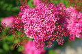 Gentle pink flowers spirea of garden closeup Stock Photography