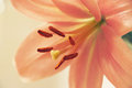 Gentle pink lily, selective focus on the stamens, soft light, tone adjustment Royalty Free Stock Photo