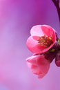 Gentle pink petal close up Royalty Free Stock Photos