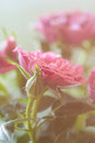 Gentle pink rose and buds close up Royalty Free Stock Photo