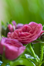 Gentle pink rose and buds close up Stock Photo