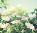 Gentle pink roses and rose buds close up Stock Images