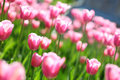 Gentle pink tulips on a flower field, Royalty Free Stock Photo
