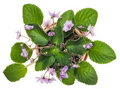 Gentle pink violets grow in a small pot Stock Photos