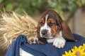 Gentle and sweet Basset hound puppy with sad eyes sitting in a b Royalty Free Stock Photo
