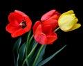 Gentle Wet Tulips