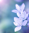 Gentle white flowers on blue blur background fresh spring wildflowers outdoors natural floral border soft focus Royalty Free Stock Photos
