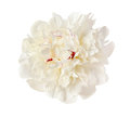 The gentle white peony is isolated on Stock Photo