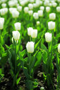 Gentle white tulips on summer flower bed Royalty Free Stock Photo
