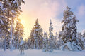 Gentle Winter Sundown - snowy forest landscape with big pine trees Royalty Free Stock Photo