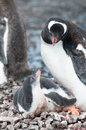 Gentoo chick and his mother Royalty Free Stock Photo