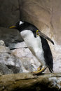 Gentoo penguin an adult standing up on a rock Stock Images