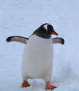 Gentoo penguin adult walking along a highway in antarctica Royalty Free Stock Photo