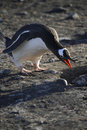 Gentoo Penguin - Antarctica Royalty Free Stock Photos