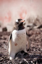 Gentoo penguin in Antarctica Royalty Free Stock Image