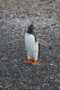 Gentoo penguin in antarctica beautiful Stock Photography