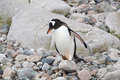 Gentoo penguin a busy in antarctica Royalty Free Stock Photos