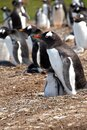 Gentoo Penguin and Chick with a colony Gentoo Penguins Royalty Free Stock Photo