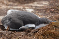 Gentoo penguin chick sleeps in the nest Stock Photo