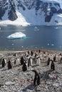 Gentoo penguin colony, Antarctica Stock Photo