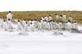 Gentoo penguin colony on the beach Royalty Free Stock Photo