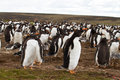 Gentoo penguin colony falkland islands Stock Photography
