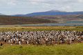 Gentoo penguin colony falkland islands Royalty Free Stock Photo