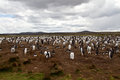 Gentoo penguin colony falkland islands Stock Photo