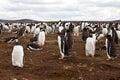 Gentoo penguin colony falkland islands Stock Photography