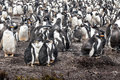Gentoo penguin colony pygoscelis papua parents and chicks falkland islands Royalty Free Stock Photography