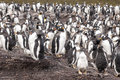 Gentoo penguin colony after rain pygoscelis papua parents and chicks falkland islands Royalty Free Stock Images