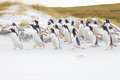 Gentoo penguin colony running along the beach Royalty Free Stock Photo