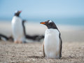 Gentoo penguin falkland islands south atlantic ocean british overseas territory Stock Image