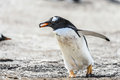 Gentoo penguin falkland islands south atlantic ocean british overseas territory Stock Photos