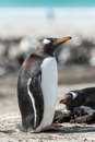 Gentoo penguin falkland islands south atlantic ocean british overseas territory Royalty Free Stock Photography