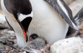 Gentoo penguin feeding baby chick just a few days old Royalty Free Stock Image