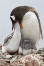 Gentoo penguin female that feeds one of the chicks in nest Royalty Free Stock Image