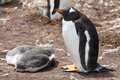 Gentoo penguin female with two chicks in the colony falkland islands Stock Photography
