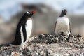 Gentoo penguin greeting its mate on nest pygoscelis papua almirante brown antarctica Royalty Free Stock Photo