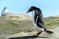Gentoo penguin on the ground falkland islands south atlantic ocean british overseas territory Royalty Free Stock Photo
