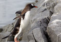 Gentoo penguin jumping on to rock Stock Photos