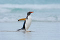 Gentoo penguin jumps out of the blue water while swimming through the ocean in Falkland Island Royalty Free Stock Photo